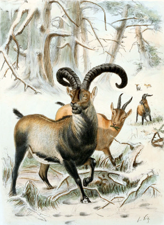 Pyrenean ibex - Illustration from 1898