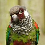 A green parrot with a maroon face and underside, a white cheek, a taupe forehead