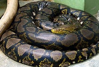 Reticulated python - Image: Python reticulatus сетчатый питон 2
