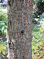 Quercus acutissima trunc 01 by Line1.JPG