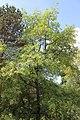 Quercus pyrenaica BotGardBln 20170610 G.jpg