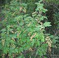 RSerbentas Ribes rubrum.jpg