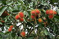Rambutan fruits Nephelium lappaceum 02.JPG