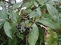 Ramularia sambucina a1 (1).jpg