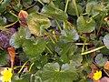 Ranunculus ficaria Habitus SolanadelPino.jpg