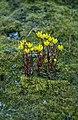 Ranunculus sulphureus 02(js), Myggbukta (Greenland).jpg