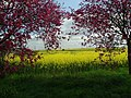Rape and blossom - geograph.org.uk - 406468.jpg