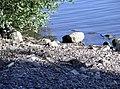 Rat at Att^ - geograph.org.uk - 202651.jpg