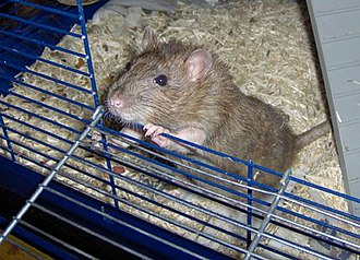Environmental enrichment - A rodent is not stimulated by the environment in a wire cage, and this affects its brain negatively, particularly the complexity of its synaptic connections
