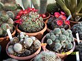 Rebutia species (3421816907).jpg