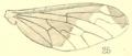 RecIndMus Vol II 1909 Plate XII Fig 25 Brachyanax gentilis.png