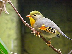 Red-billed Leiothrix, Leiothrix lutea