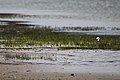 Red-capped Plovers (23384991625).jpg