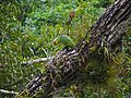 Red-lored Parrot (Amazona autumnalis) (6781218101).jpg
