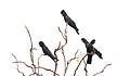 Red-tailed Black-Cockatoo (Calyptorhynchus banksii) (31262221501).jpg