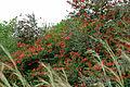 Red Bauhinia (Bauhinia galpinii) (16510446185).jpg