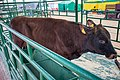 Red Belarusian cattle (Belagro-2021).jpg
