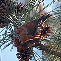 Red Crossbill (5360857332).jpg