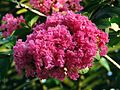 Red Myrtle (Lagerstroemia indica).jpg