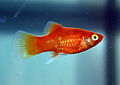 Red coral platy.jpg