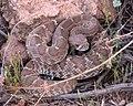 Red diamond rattlesnake (crotalus exsul).jpg