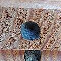 Red mason bee (Osmia bicornis) nest being sealed, Sandy, Bedfordshire (8911729527).jpg