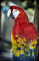 Red parrot profile (7767867302).jpg