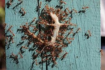 Red weaver ants transporting a dead gecko, in Laos.jpg