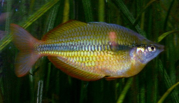 The New guinea rainbow fish is a pea...