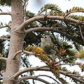 Regulus regulus japonensis (singing).jpg