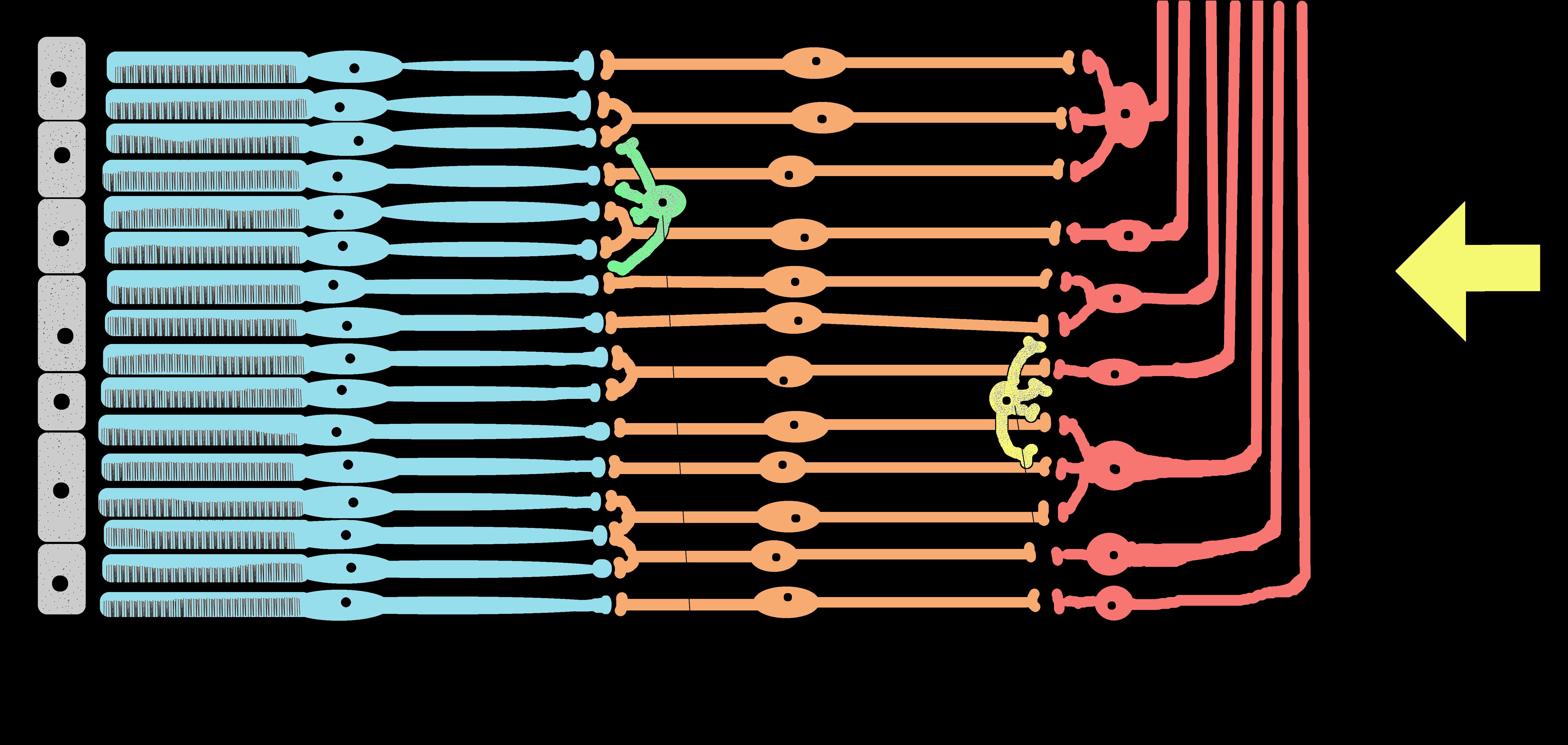 File:Retina schema Farbe.xcf - Wikimedia Commons