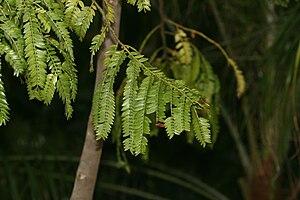 Retrophyllum rospigliosii - Pendulous branchlets.