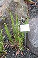 Reykjavík Botanic Garden Gaura lindheimeri 2014-08-02.jpg