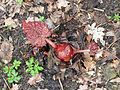 Rheum palmatum bud - Flickr - peganum (1).jpg