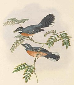 Rhipidura hyperythra - The Birds of New Guinea (cropped).jpg