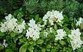 Rhododendron aureum Kibanashakunage in kannondake 2003 6 21.jpg