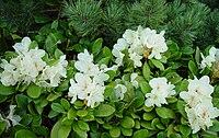 Rhododendron aureum Kibanashakunage in kannondake 2003 6 21
