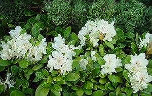 Rhododendron aureum - Rhododendron aureum