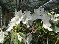 Rhododendron cv. Kiev Grishko 15.jpg