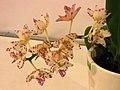 Rhynchorides Dragon Charmy -台南國際蘭展 Taiwan International Orchid Show- (40822575461).jpg