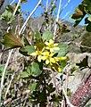 Ribes aureum var aureum 3.jpg
