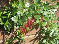 Ribes speciosum - Flickr - peganum (5).jpg