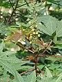 Ricinus communis - Castor Bean Plant at Trivandrum 2014 (1).jpg