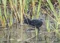 Ridgeway Rail Chick (27293859723).jpg