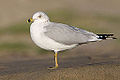 Ring-billed Gull (larus delawarensis) (8218608019).jpg