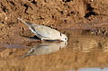 Ring-necked Dove (also known as Cape Turtle Dove), Streptopelia capicola, at Mapungubwe National Park, Limpopo, South Africa (18650778049).jpg