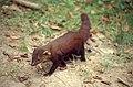 Ring-tailed Mongoose (Galidia elegans) (30504192017).jpg