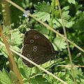 Ringlet butterfly (9293424902).jpg