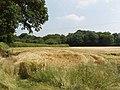 Ripening barley, Hyde Heath - geograph.org.uk - 193360.jpg