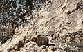 Rock Hyrax שפן סלע - panoramio.jpg